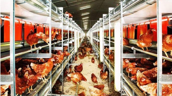 « Le Cameroun doit investir pour avoir son indépendance avicole »