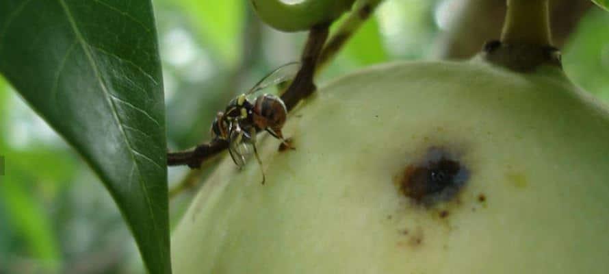 Système Régional Innovant de contrôle des Mouches des fruits en Afrique de l'Ouest