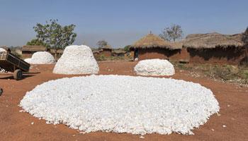 Côte d'Ivoire : vers un rebond dans le coton ?