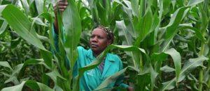 Presse : Et si l'Afrique était partie pour être l'eldorado des organismes génétiquement modifiés
