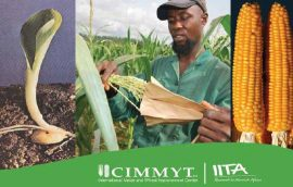 Guidebook: Strategies for sustainable maize seed production in west and central Africa
