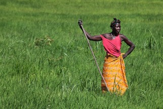 From one grain to another: the rise of rice in West Africa