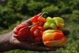 Fiches techniques : piment, poivron, moringa
