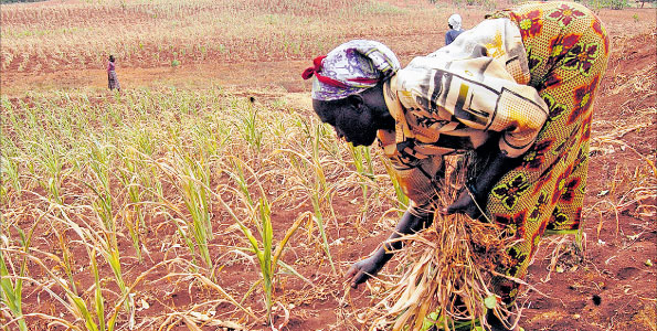 Africa's key food crops threatened, says study