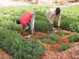 Forum électronique : Le secteur semencier en Afrique de l'Ouest et du Centre