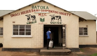 African farmers suffer from overproduction of milk in the EU