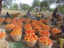 La tomate au Niger