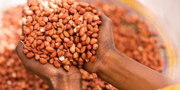 Sénégal : Arachide, l'état d'urgence