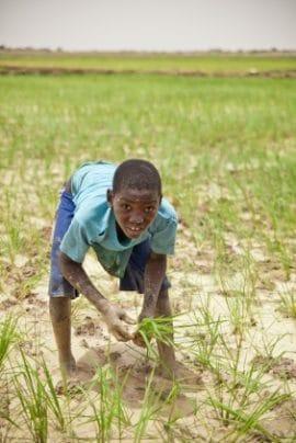 Série d'études sur diverses filières agricoles en Afrique de l'Ouest