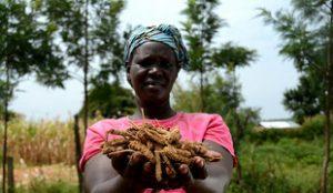 ICRISAT: Accroissement de la production de sorgho et de millet – une réussite !