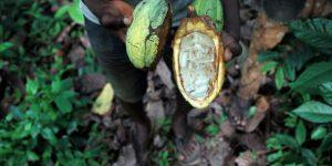 Côte d'Ivoire : des orpailleurs mettent en danger les plantations de cacao
