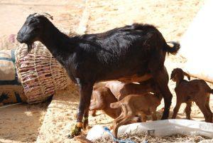 Karamoja livestock market assessment report (Uganda)