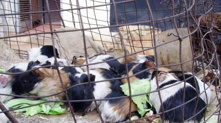 Cameroun: Comment mieux valoriser l'élevage du cobaye