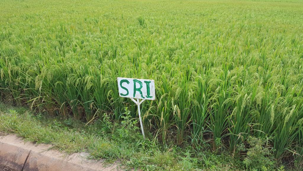 Le système de riziculture intensive, ou SRI, à Bama au Burkina Faso