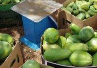 La mangue africaine redevient incontournable en Europe