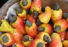 Communiqué: Les nouvelles modalités de la commercialisation des noix de cajou au Bénin