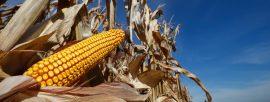 Une nouvelle espèce de chenille en Afrique menace le commerce agricole mondial