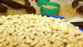 Noix de cajou: une campagne ouest-africaine précoce et plus abondante