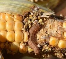 Alerte RECA/Niger : Chenille d'automne sur maïs