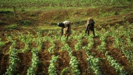 Chronique radio : L'agriculture industrielle et l'accaparement des terres