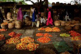 Article du journal le Monde : La filière tomate au Nord du Nigéria