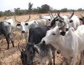 Brève : l'élevage au Nigeria