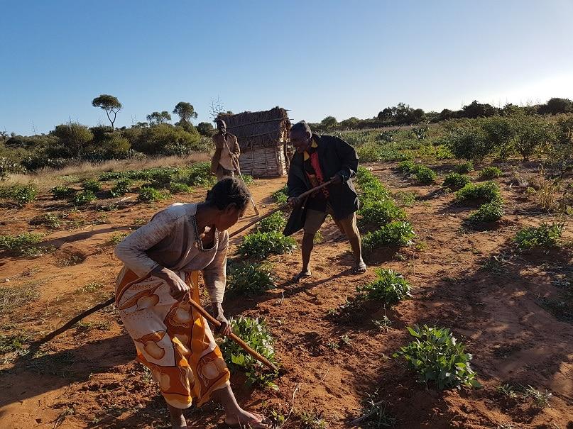 Quand des paysans malgaches sélectionnent maïs, sorgho et mil...