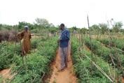 Maraîchage : Module de formation sur la protection de la tomate