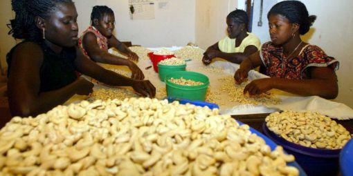 Guinée-Bissau: le cajou, cette noix oléagineuse qui sauve l'agriculture