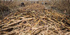 Les sucriers européens à l'assaut du marché africain
