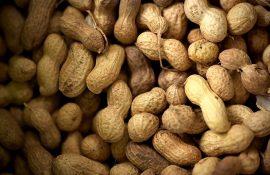 Sénégal : dix nouvelles variétés d'arachide