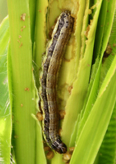 FAO develops a mobile phone app to monitor Fall Armyworm (FAW) in Africa
