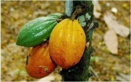 Déforestation liée au cacao : bilan d'étape des engagements des compagnies et des gouvernements ghanéen et ivoirien