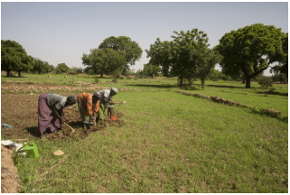A mobile app for rice weed control in Africa launched by AfricaRice
