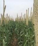 Point sur la disponibilité en semences améliorées - Zinder