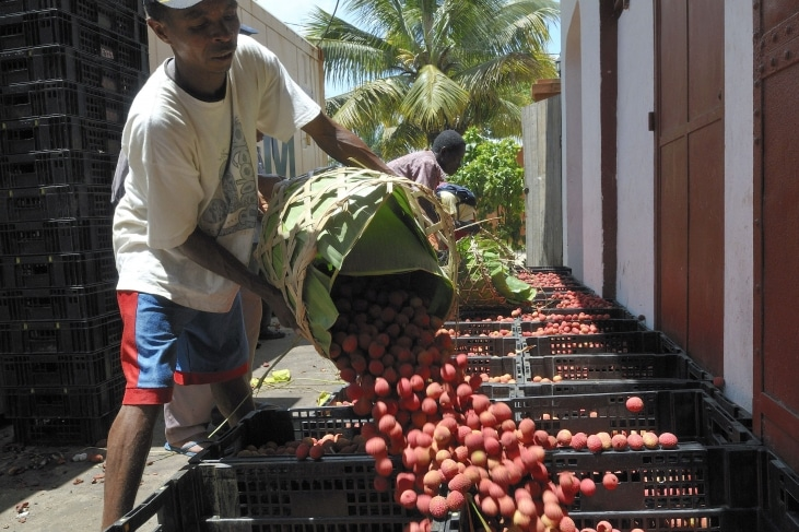 A Madagascar, pour réduire le gaspillage alimentaire, AVSF encourage la transformation du litchi
