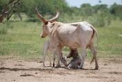 Enquête : Pratiques d'élevage et indicateurs morphométriques de performance laitière chez les éleveurs de bovins Kouri au Niger