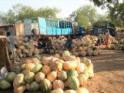 Fiche technico-économique : Culture de la courge Bagobira - Région de Zinder