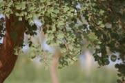 Etude : Influence des parcs agro-forestiers sur l'infestation des plants de mil au Niger