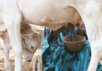 Article: Filière lait au Sénégal : si pauvre de sa richesse
