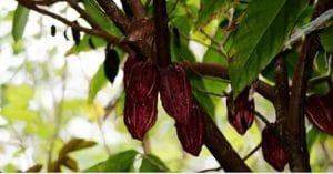 Note : Produire un cacao durable : à quelles conditions ?