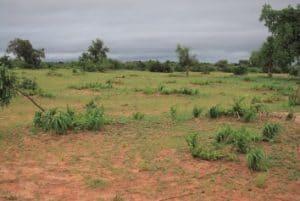 Etude : Effet des touffes de Guiera senegalensis sur la fertilité des sols - Niger