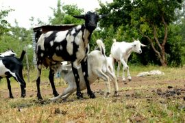 Manuals: Best practices for selective breeding for improved livestock productivty