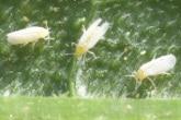 Note technique :  La mouche blanche (Bemisia tabaci)