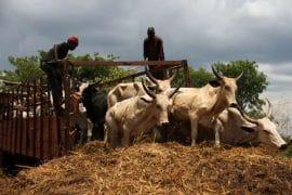 Article: enjeux autour des marchés à bétail en Centrafique