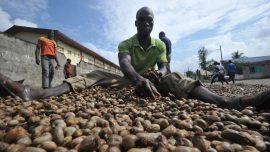 Emission radio : L'Afrique de l'Ouest confrontée à la crise de la noix de cajou