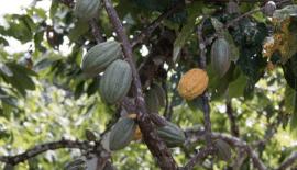 Article - Afrique de l'Ouest : le Ghana et la Côte d'Ivoire publient leur plan Cocoa & Forests