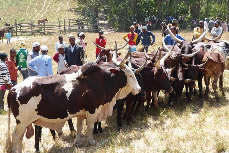 Article - Une occasion ratée pour le marché des produits laitiers et de la viande – étude de cas au Cameroun