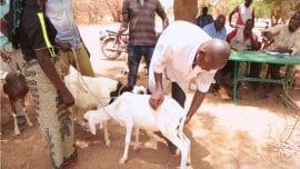 Vidéo : Une foire aux animaux pour recapitaliser les cheptels
