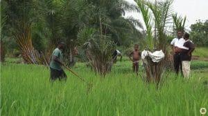 Vidéos : Système de riziculture intensive